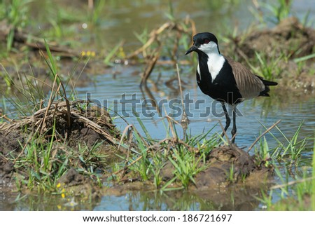 A Spur-Winged Plover (Vanellus Spinosus) on a pond bank lined with grass - stock photo
