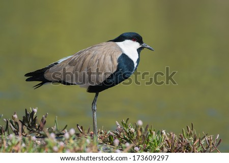 A Spur-Winged Plover (Vanellus Spinosus) standing on the bank - stock photo