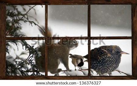 A squirrel, chickadee, and starling bird perched on a cedar branch together during a terrible snowstorm, seen through a farmhouse window. Part of a series. - stock photo