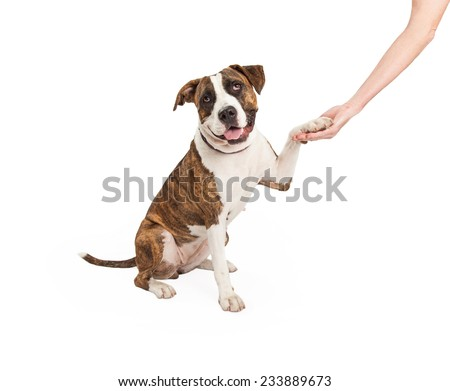 A Staffordshire Bull Terrier Mix Breed Dog shakes paw with human hand. Dogs mouth is open and looking into the camera.  - stock photo