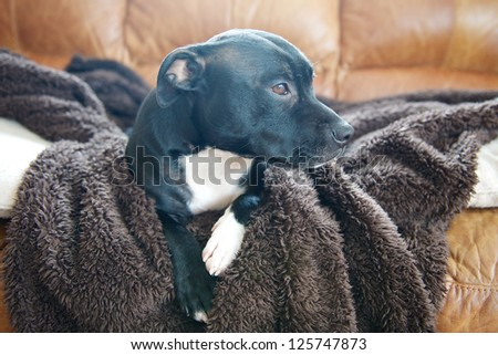 A staffordshire bullterrier laid  on a dog blanket - stock photo