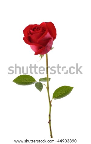 A stalk of red rose isolated in white - stock photo
