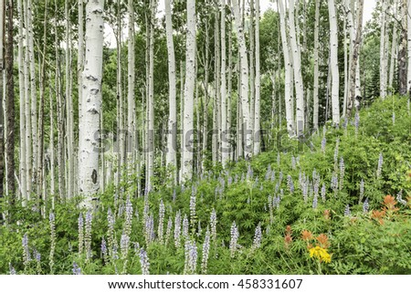 A stand of quaking aspen trees on a lush slope over Lupine and other wildflowers in the alpine La Sal Mountains of Utah - stock photo