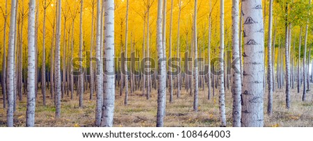 A stand of trees begins to weather fall cold ablaze in Yellow Color Panoramic Composition - stock photo