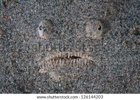 A Stargazer (Uranoscopus sp.) hides itself in sand in Indonesia.  This fish is a classic ambush predator and feeds on small reef fish that swim near. - stock photo