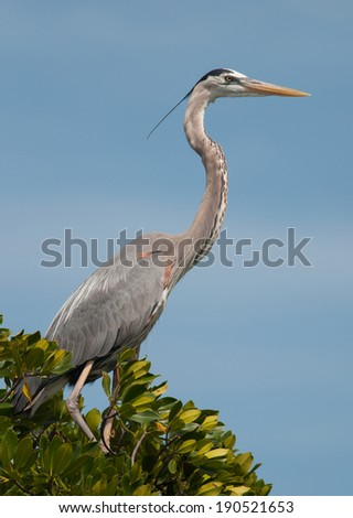 A stately Great Blue Heron stands tall at the tip of a tree with blue sky behind in the mangrove swamps of Sanibel Island. - stock photo