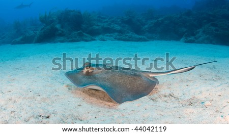 A sting ray swims along the ocean floor with the coral reef in the distance - stock photo