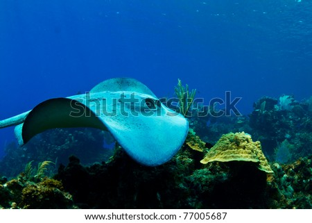 A stingray swims over a tropical reef in  Honduras,  Central America - stock photo