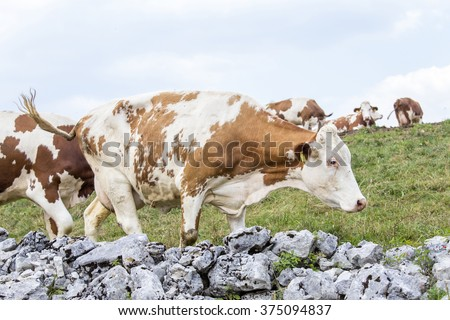 A stone wall surrounding an alpine pasture, with a head of cows grazing - stock photo