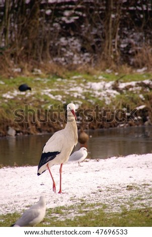 A stork (ciconia) in the snow - stock photo