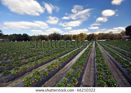 a strawberry farm in a nice day - stock photo
