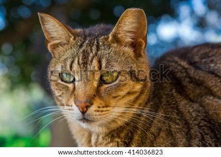 A stray domestic tabby cat shot in Buskett Gardens in Malta - stock photo