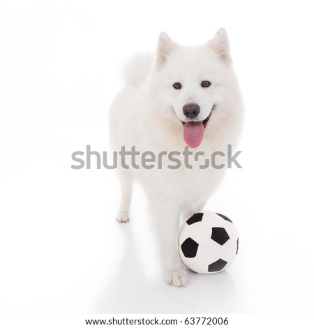 a studio image of a pure white breed dog, standing, looking forward, with a football at it's feet - stock photo