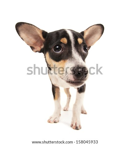 a studio shot of a rat terrier chihuahua mix isolated on a white background - stock photo