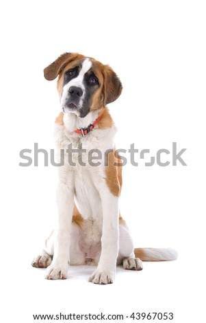 A studio view of a large, brown and white St. Bernard dog isolated on a white background - stock photo