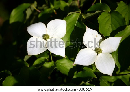 A study of a pair of gorgeous dogwood flowers - stock photo
