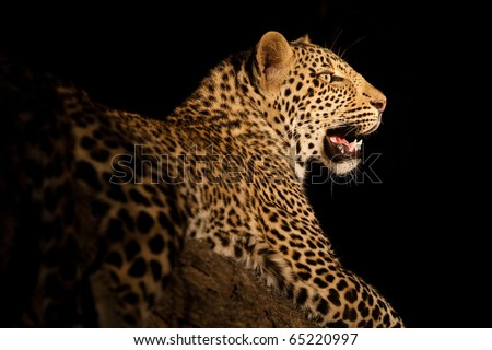 A stunning leopard portrait after dark - stock photo