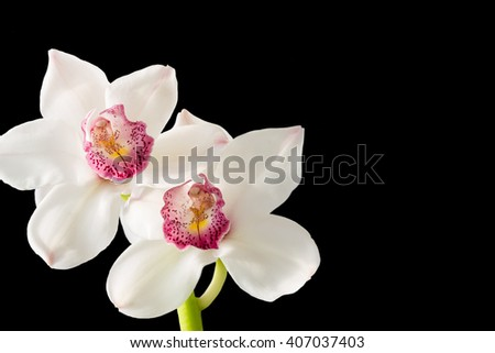 A stunning white orchid (cymbidium) displays its beauty as the afternoon sunlight gently graces its petals. A pure black background has been added for copy space on this horizontal format. - stock photo