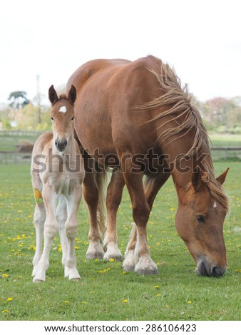 A Suffolk Punch mare and foal in a paddock. - stock photo