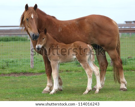 A Suffolk Punch mare stands alongside its foal - stock photo