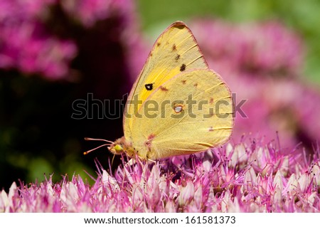 A sulpher butterfly on a seedum plant. - stock photo