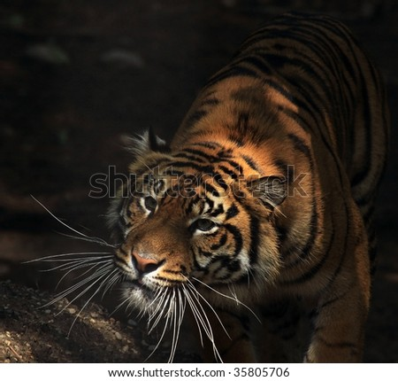 A Sumatran tiger (panthera tigris sumatrae) stalking its prey. - stock photo