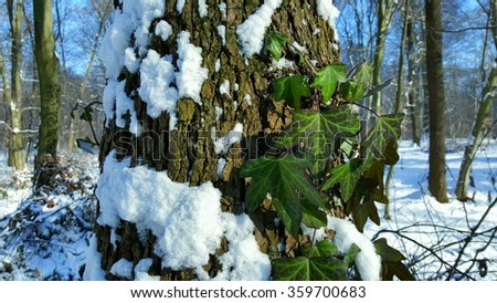 a summer and winter meeting. evergreen ivy twig in snow in the forest - stock photo