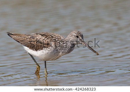 A summer plumage Greenshank (Tringa nebularia) wading in water, against a blurred water background, UK - stock photo