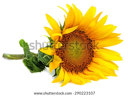 a sunflower on a white background - stock photo