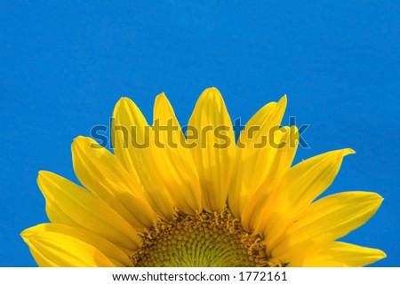 A sunflower rises up against a blue background in imitation of the sun rising in the sky. - stock photo
