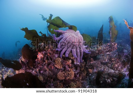 A sunflower sea star sitting on a cold water coral formations - stock photo