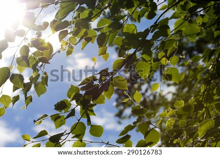 A sunny day through the birch leaves. Image taken in Finland in the summer time. - stock photo