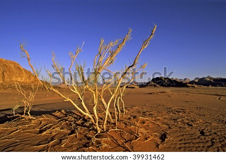 A survivor plant in Wadi Rum (The Valley of the Moon) - Jordan - stock photo