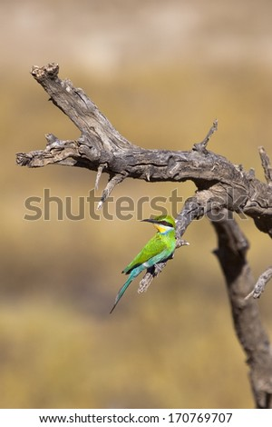 A Swallow-tailed Bee-eater (Merops hirundineus) perched on a dead tree against a blurred natural background. Taken in the Kgalgadi Transfrontier Park, South Africa - stock photo