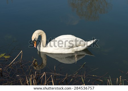 A Swan appears to be looking at its reflection in the water - stock photo