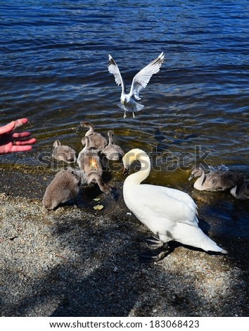 A swan family, mother and her children - stock photo