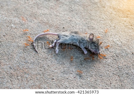 A swarm of ants was eating the corpses of dead rats. - stock photo