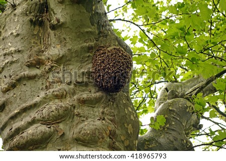 A swarm of bees on a tree in a rainy spring day - stock photo