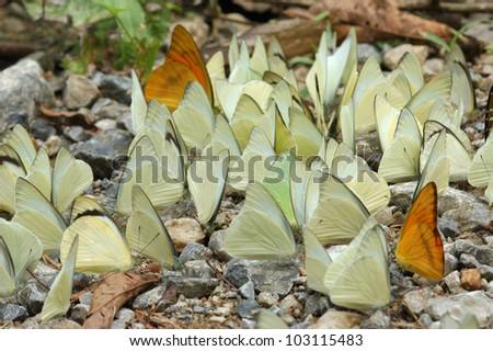 A swarm of Common and Orange Albatross Butterflies(Appias albina & Appias nero) in a Thai rainforest - stock photo