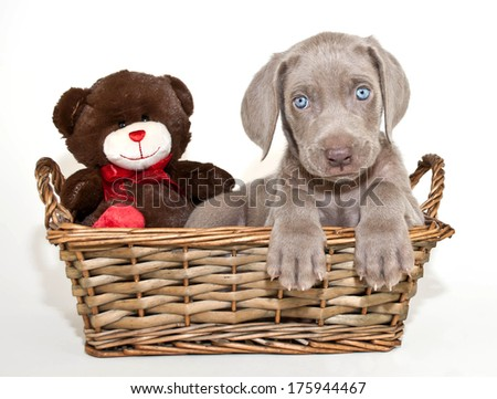 A sweet blue eyed Weimaraner puppy sitting in a basket with a teddy bear. - stock photo