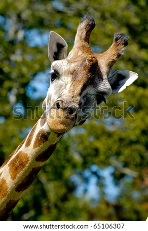 A sweet giraff is standing and looking. - stock photo