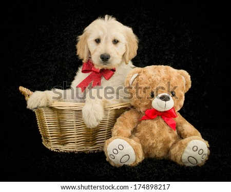 A Sweet Golden doodle puppy wearing a red bow, sitting in a basket with a teddy bear, on a black background. - stock photo