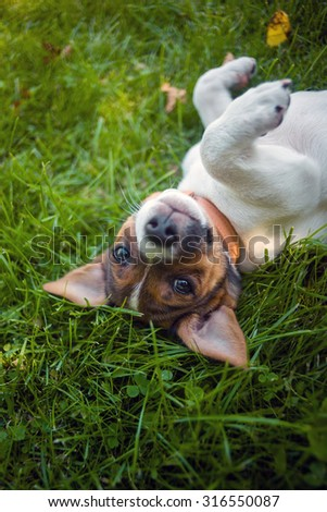 A sweet little Jack Russel puppy is laying humble on green grass and looks naughty into your eyes. - stock photo