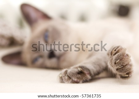A sweet photograph of a siamese cat relaxing as her eyes begin to close. Her face is blurred in the background while her little paws are in focus. - stock photo