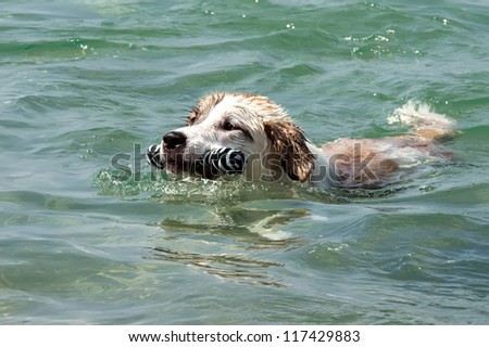 a swimming dog with plate - stock photo