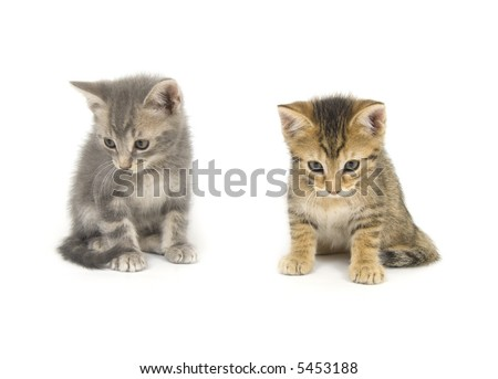 A tabby and a gray kitten look down on a white background - stock photo