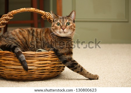 A tabby cat looks at the camera as he climbs out of a wicker knitting basket - stock photo
