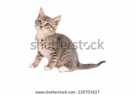 A Tabby Kitten sitting on a white background - stock photo