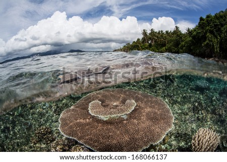 A table coral (Acropora sp.) grows on a shallow reef flat in the Solomon Islands. This area is known for its extremely high marine biodiversity and excellent scuba diving. - stock photo
