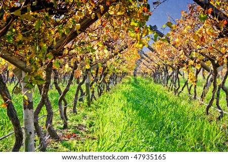A table grape vineyard in South Africa - stock photo